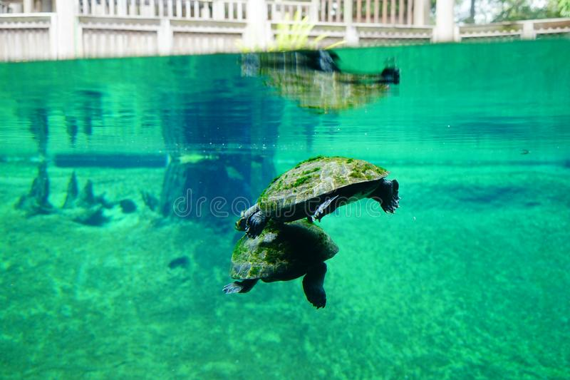 Eine Schildkröte schwimmt lizenzfreies stockbild