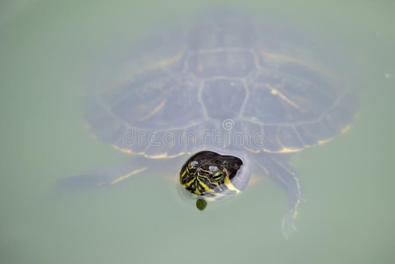 Eine Schildkrötenschwimmen in einem grünen Teich des Wassers stockbilder