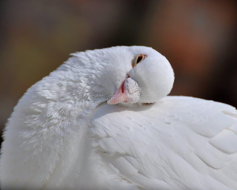 Eine schlafende Weißtaube