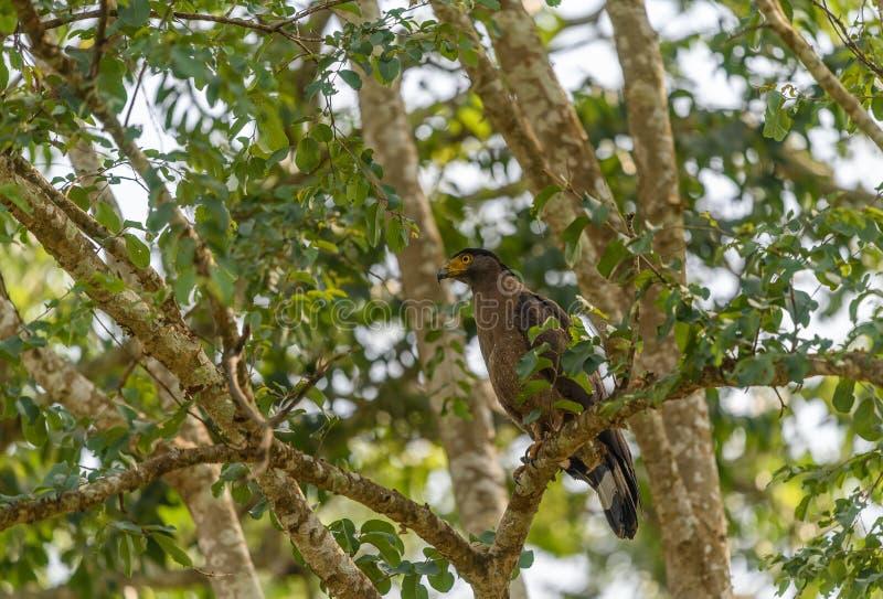 Eine Schlange mit Haube Eagle Perching in den Dschungeln Nationalparks Nagarhole lizenzfreie stockfotografie