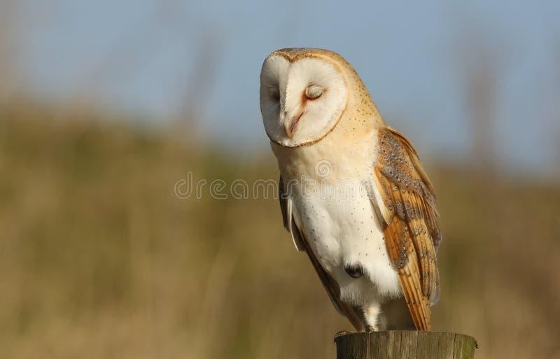 Eine Schleiereule (Tyto alba) vierzig Winks habend, welche die Feder auf seinen Augenlidern zeigen lizenzfreies stockfoto