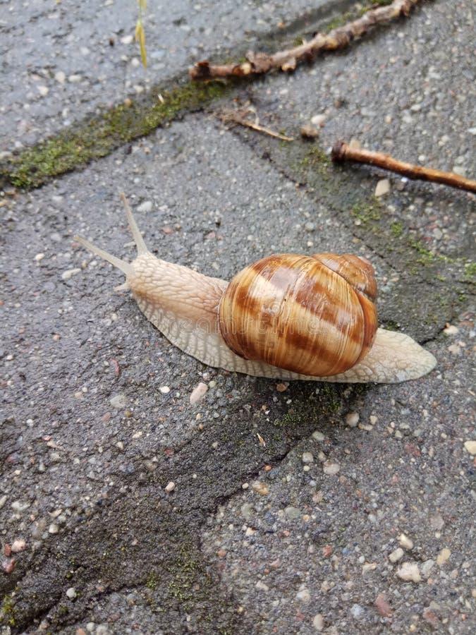 Eine Schnecke mit seinem Haus kriecht entlang die Straße stockfoto