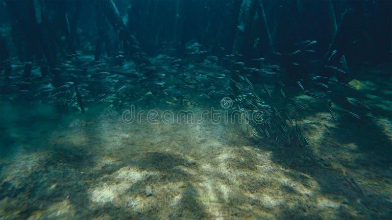 Eine Schule gestreiften Aalwels Plotosus-lineatus, das am Meeresgrund für das Suchen nach Nahrung nahe Mangroven sich bewegt stockbilder