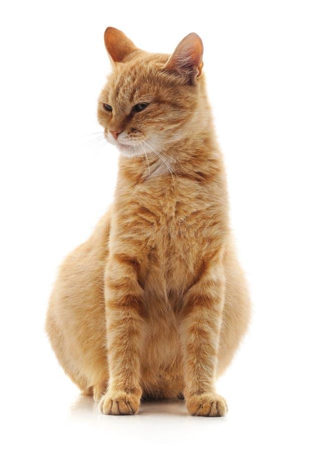 Eine schwangere Katze lizenzfreies stockfoto
