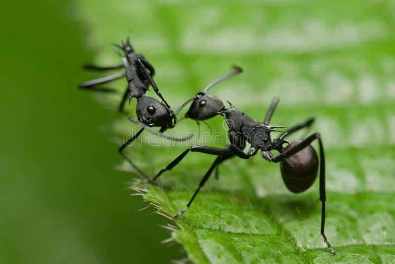 Trop. Insekt Weiße Ameise