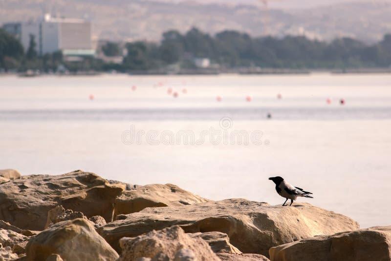 Eine schwarze Krähe auf einem Felsen auf dem Strand durch das Meer stockfotos