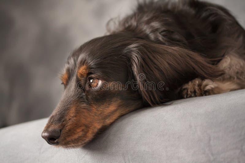 Eine schwarze Langhaardackel mit gefühlvollen Augen lizenzfreie stockbilder