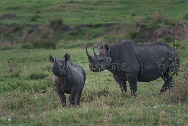 Eine schwarze Nashornmutter und sein Junges, die in die Ebenen des Se gehen stockfoto