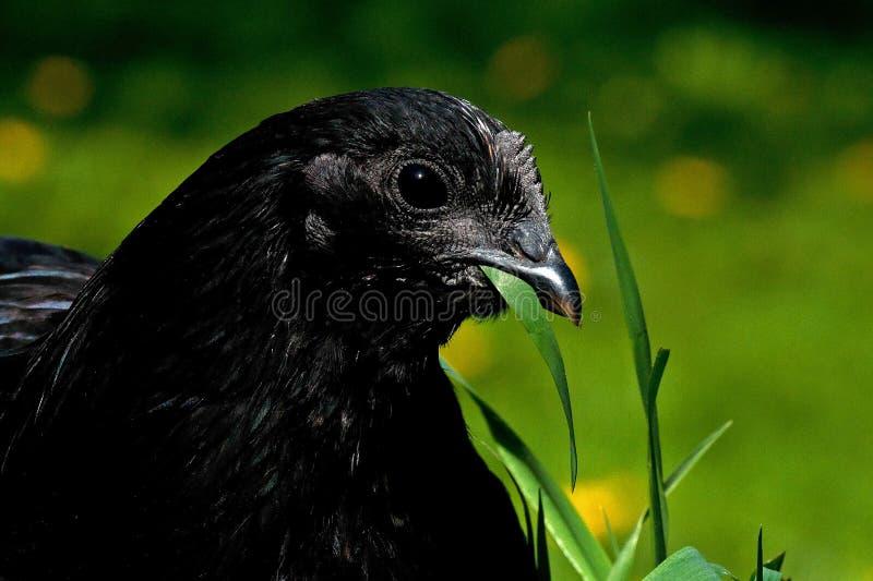Eine schwarze Variante einer Henne der Zucht Hedemora Der Kopf in der Nahaufnahme stockfotografie