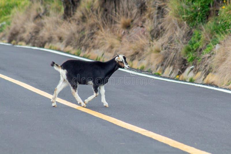 Eine schwarze Ziege kreuzt eine Straße stockfotografie