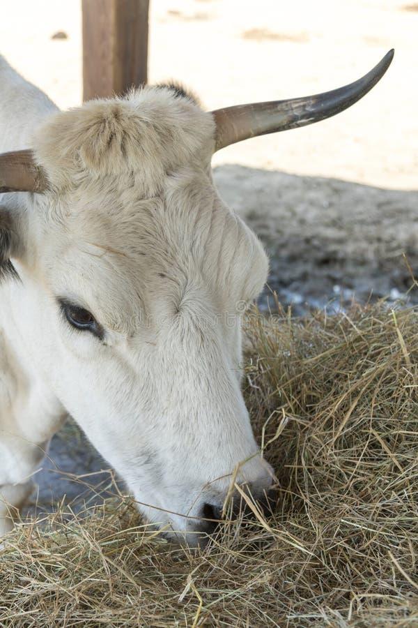 Eine Schwarzweiss-Kuh, die Heu hinter dem Hürdenzaun kaut K?he essen Heu Die Stiere, die Luzerne essen, heuen von der Krippe auf  lizenzfreie stockfotografie
