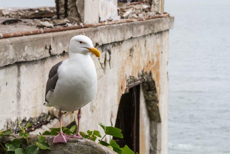 Eine Seemöwe auf Alcatraz-Insel mit dem Sozial-Hall im Hintergrund lizenzfreie stockfotos