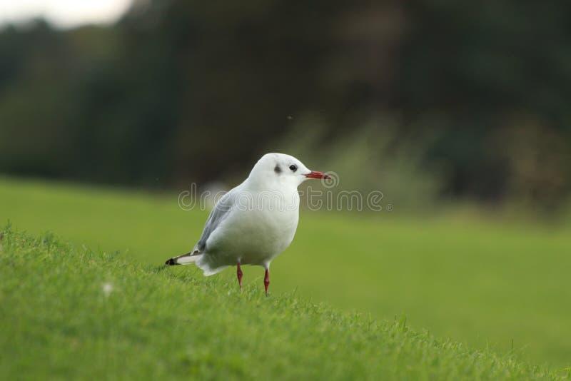 Eine Seemöwe auf einem Gras stockfotografie