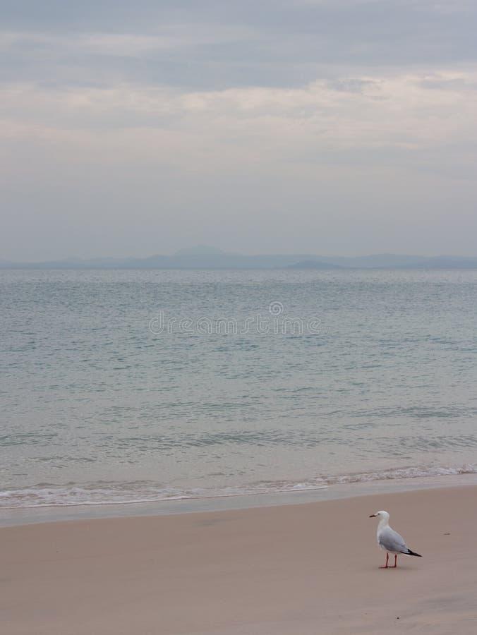 Eine Seemöwe auf einem Strand auf der großen Keppel-Insel im Wendekreise des Steinbocks Bereich im Mittel-Queensland in Australie lizenzfreie stockbilder