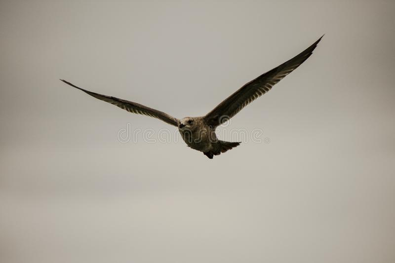Eine Seemöwe im Flug stockfotos