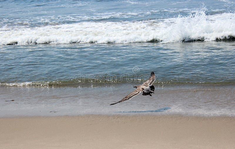 Eine Seem?we, die ?ber den Strand fliegt lizenzfreie stockbilder