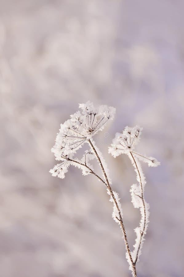 Eine sehr empfindliche trockene Blume in den weißen empfindlichen Frostkristallen Eisiger Morgen des Winters, natürlicher Hinterg stockbild