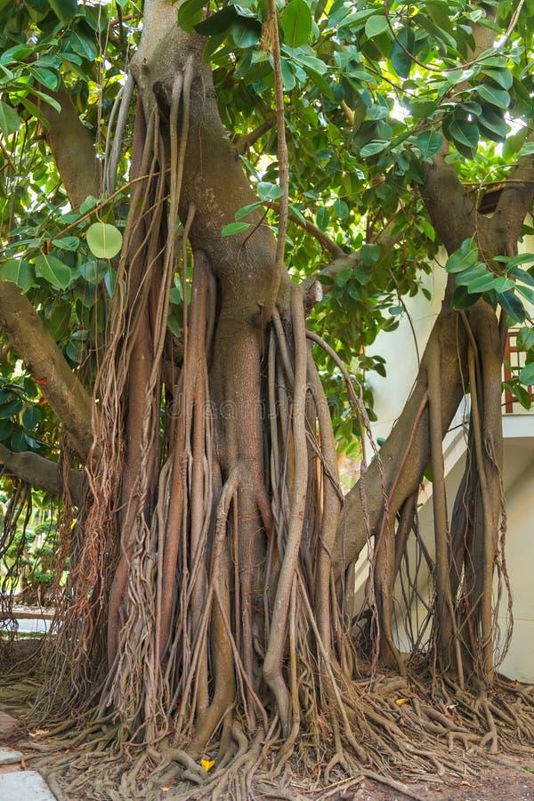 Eine sehr große Gummianlage mit den starken Wurzeln, die in einem Stadtpark wachsen lizenzfreie stockfotos