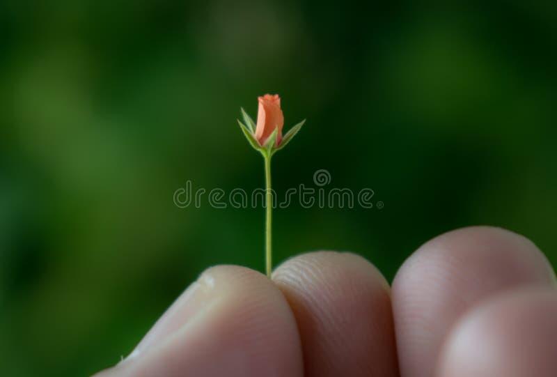 Eine sehr kleine rote Blume gehalten zwischen den Fingern stockfotografie