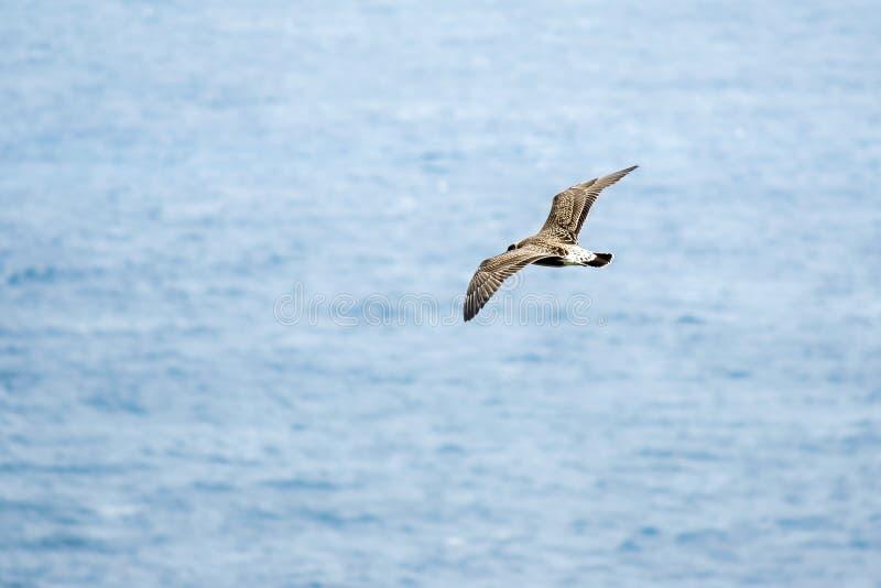 Eine Silbermöweseemöwe, die hoch mit dem Ozean hinten fliegt lizenzfreie stockfotos