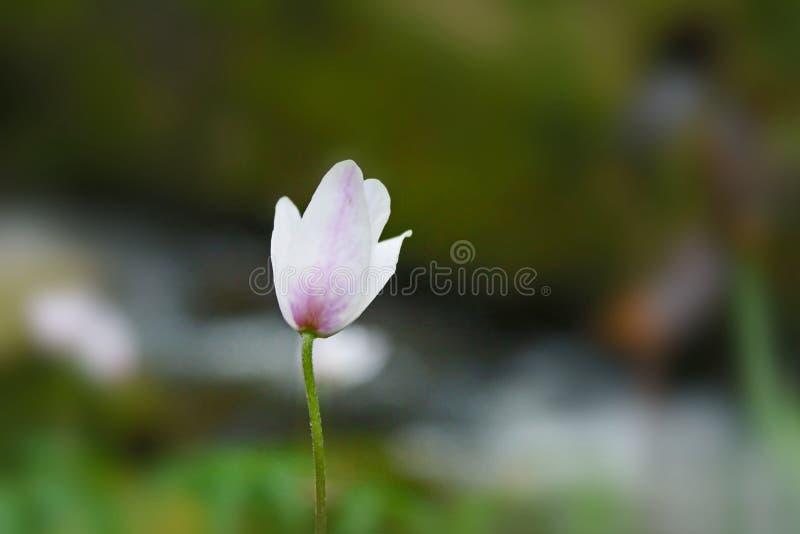 Eine singule hellrosa Blume vor einem Fluss im Wald im Frühjahr in Cornwall, England stockfotografie