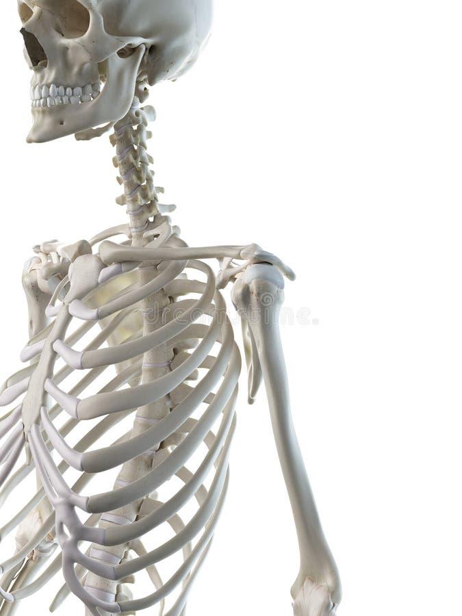 Eine skelettartige Schulter der Frauen stock abbildung
