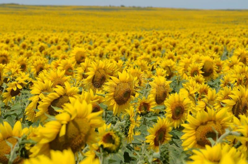 Eine Sonnenblume auf foregrounds lizenzfreie stockfotografie