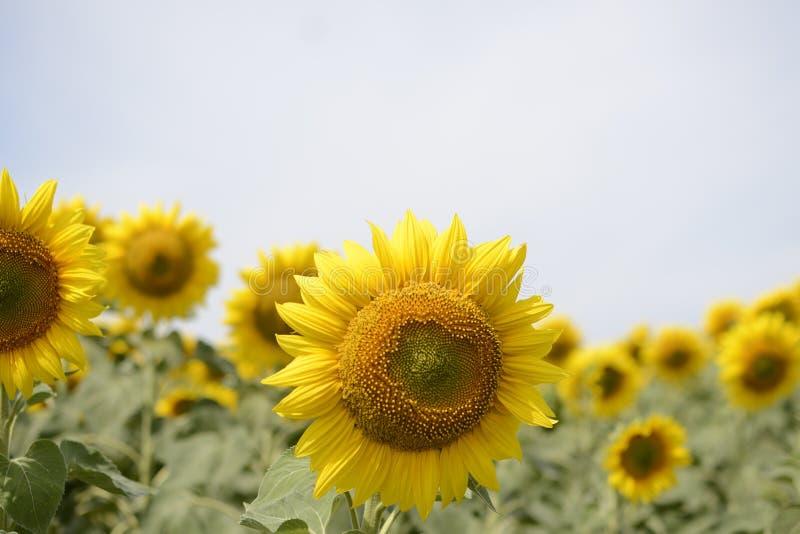 Eine Sonnenblume auf foregrounds stockbild