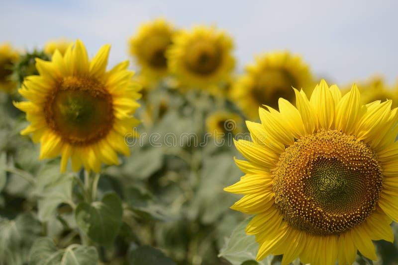 Eine Sonnenblume auf foregrounds stockfoto