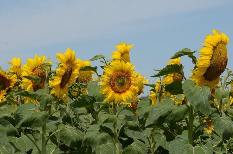Eine Sonnenblume auf foregrounds stockfotos