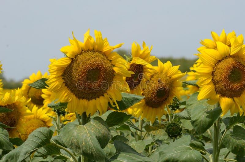 Eine Sonnenblume auf foregrounds lizenzfreies stockfoto