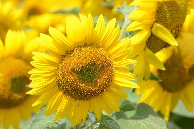 Eine Sonnenblume auf foregrounds stockbilder