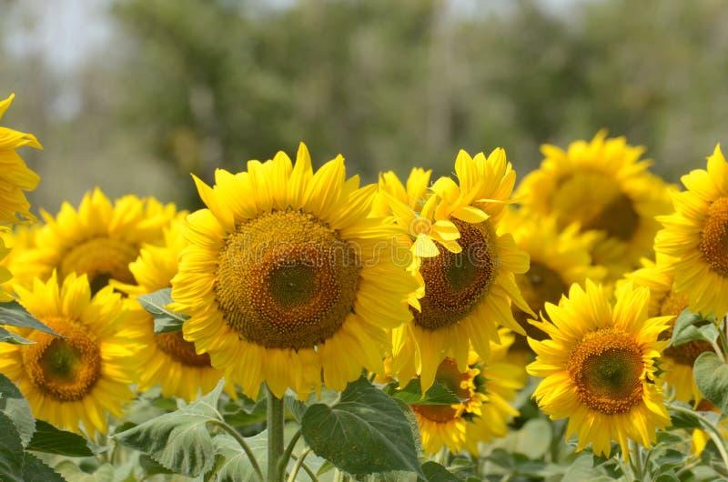Eine Sonnenblume auf foregrounds lizenzfreie stockfotos