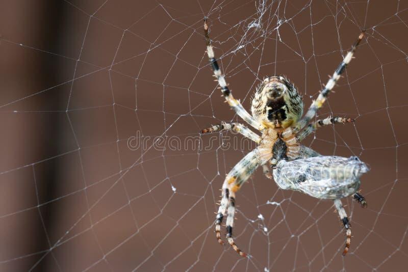 Eine Spinne mit seinem Opfer Niedrige Sch?rfentiefe stockbild