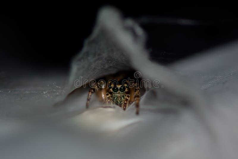 Eine springende Spinne der vorsichtigen Mutter schützt ihr eggsac stockfotografie