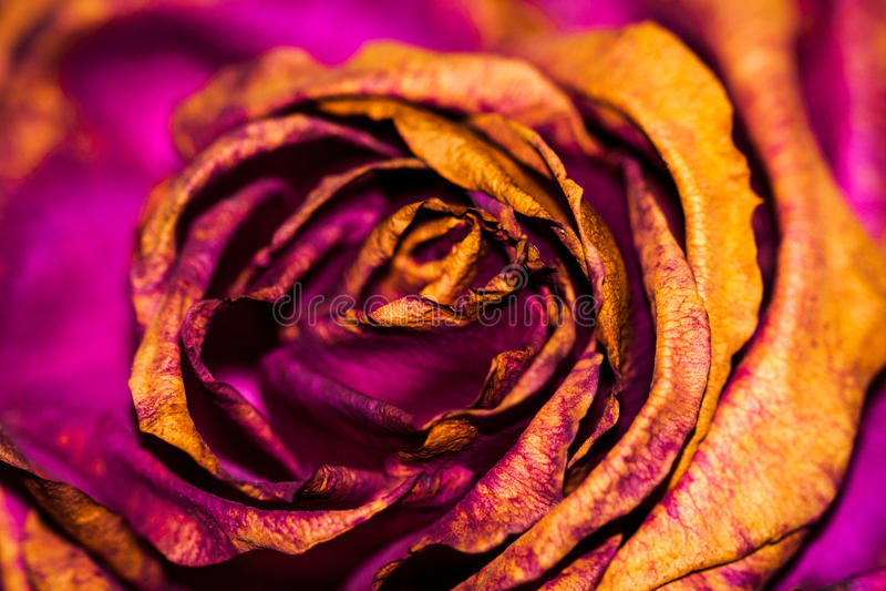 Eine sterbende Rose lizenzfreie stockfotos