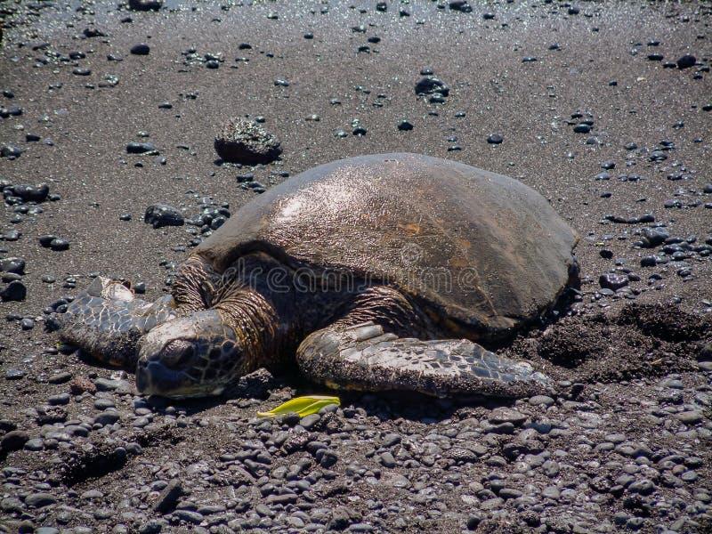 Eine stillstehende grüne Meeresschildkröte auf dem schwarzen Sand Punalu-` u Strand auf der großen Insel von Hawaii stockbilder
