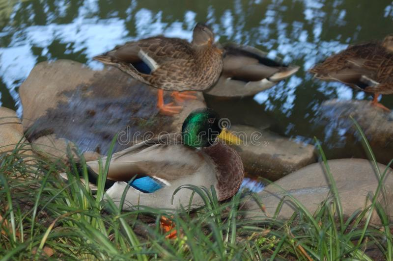 Eine Stockente unter vielen auf einem Teich nahe Gras lizenzfreies stockfoto