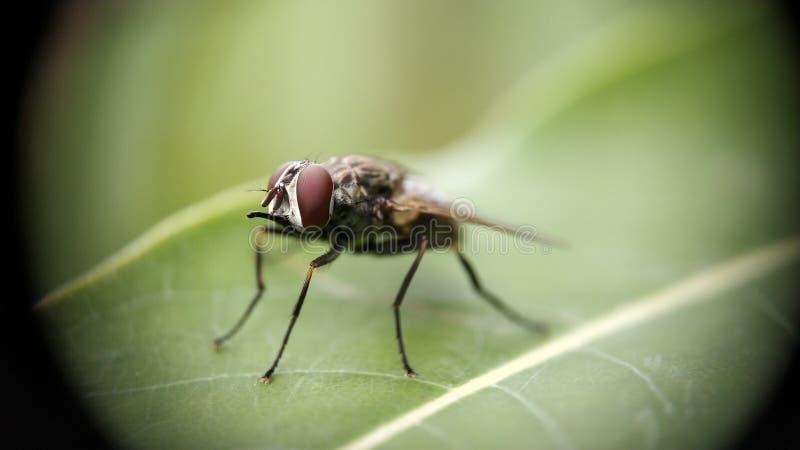 Eine Stubenfliege, die auf Blatt mit extremer Makrophotographie sitzt stockfoto