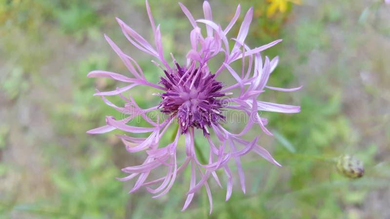 Eine Studie im Lavendel stockfotos