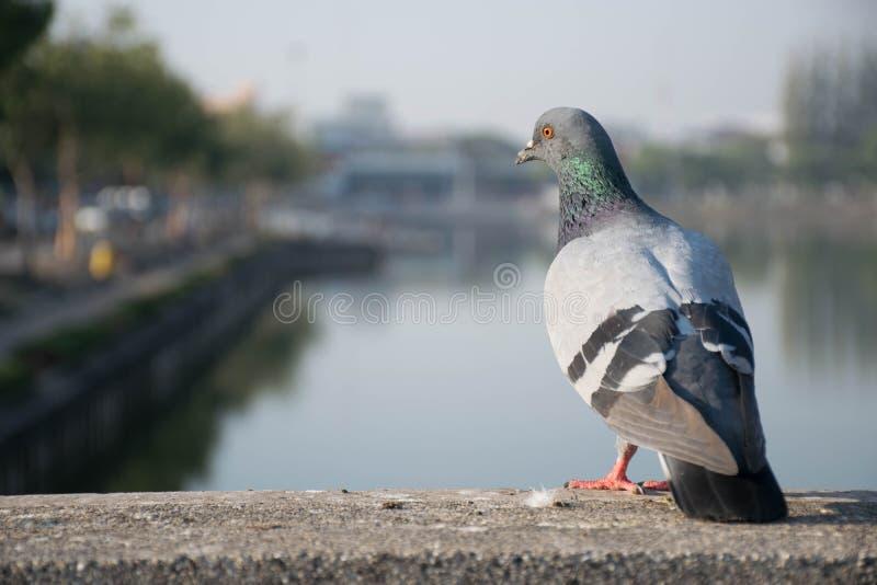 Eine Taube stockfotografie