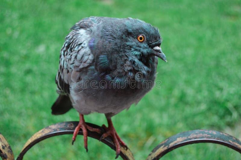 Eine Taube auf dem Zaun stockfoto
