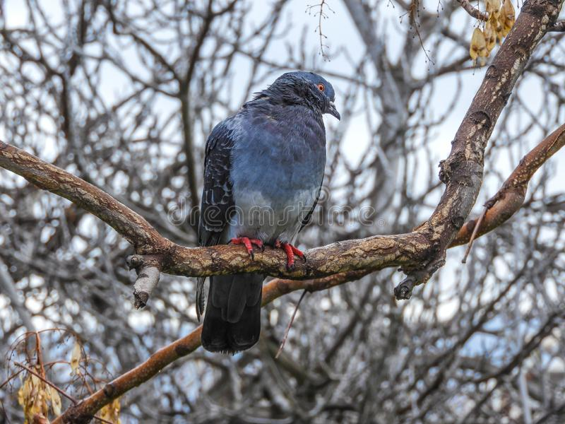 Eine Taube auf einem Baum in einem Park in der Nähe des Zentrums von Athen stockbilder