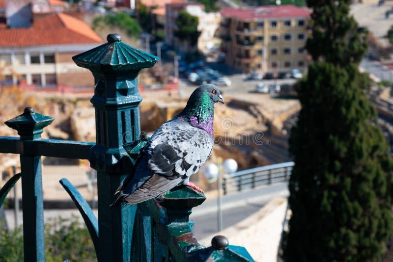 Eine Taubenstellung auf einem Balkon stockfoto