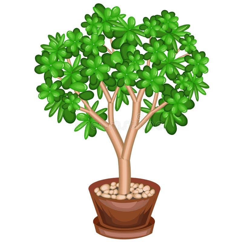 Eine Topfpflanze Baum des grünen Geldes, Crassulaceae, mit fleischigen grünen Blättern Symbol des Glückes, des Glücks und des Rei lizenzfreie abbildung