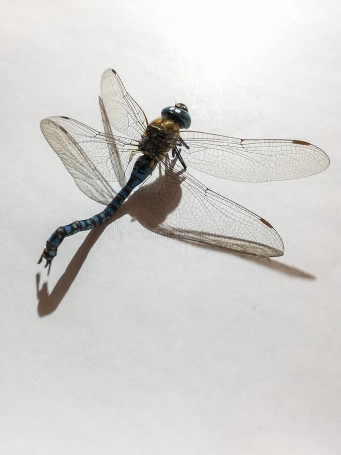 Eine tote Libelle auf weißem Hintergrund stockbild