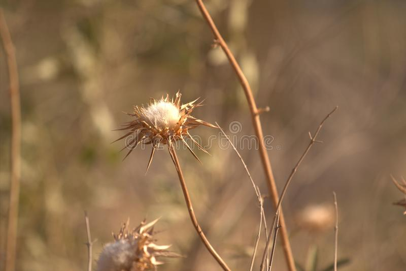 Eine trockene Sonnenblume stockbilder