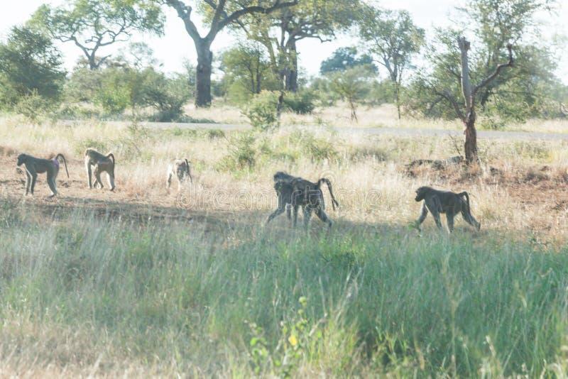 Eine Truppe von den Pavianen, die in die Nachmittagssonne in Kruger-Park gehen lizenzfreie stockbilder