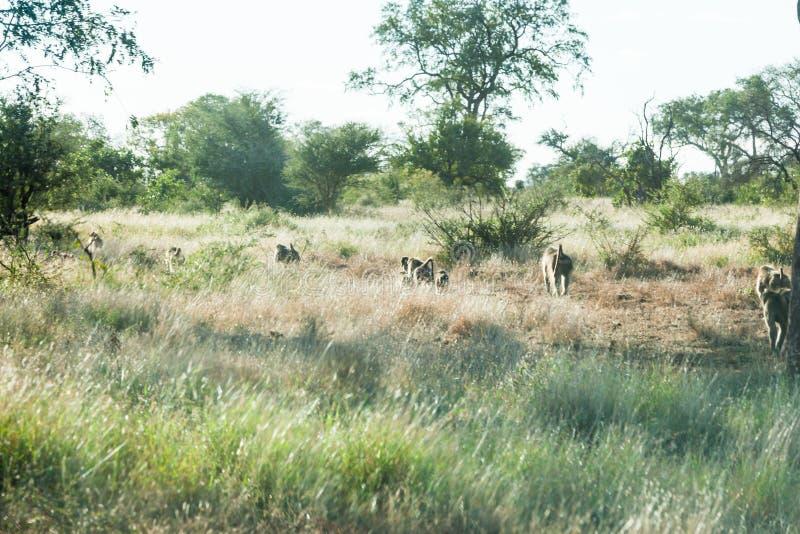 Eine Truppe von den Pavianen, die in die Nachmittagssonne in Kruger-Park gehen stockfotos