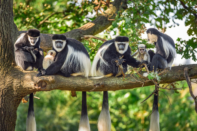 Eine Truppe von Mantled guereza albert mit zwei Neugeborenen herum lizenzfreies stockfoto